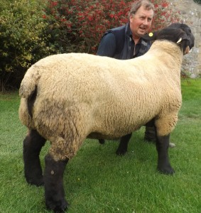 Rugley Terrific Sire of many of the females on sale and winner of the First Prize Stock Ram in the Northern Counties of England Flock Competition 2015